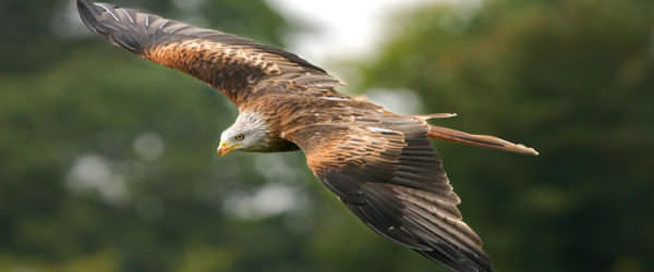 The bird of Wales is without question the Red Kite. For many years the only ones in Great Britain were the handful clinging on, and only just, in a few remote Welsh valleys.